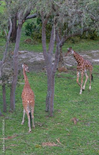 Giraffee Poster