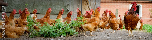 Hahn und Hühner auf einem alten Bauernhof, Banner Fototapete