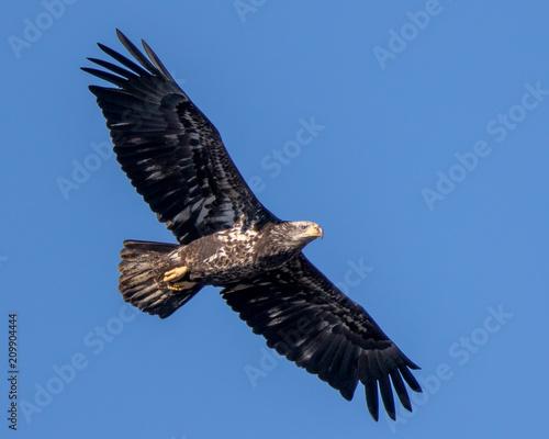 Garden Poster Eagle Bald Eagle Flying