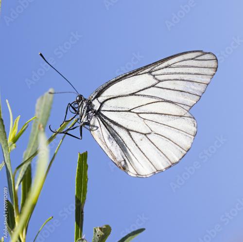 Photo Butterfly Aporia crataegi