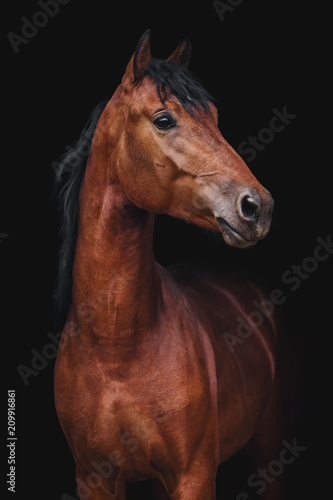 Portrait of Orlov trotter horse on a black background
