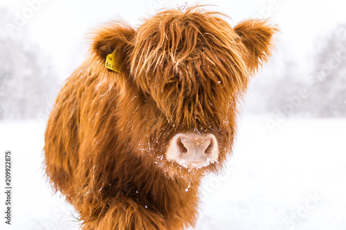 Fototapeta highland in the snow obraz
