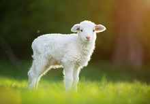 Cute Little Lamb On Fresh Gree...