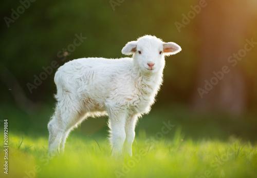 Fotoposter Schapen cute little lamb on fresh green meadow