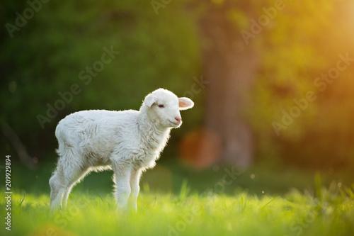 cute little lamb on fresh green meadow