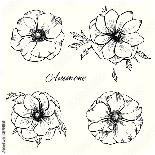 Fototapeta Anemone vector set in hand drawn style. Floral design set