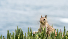 Ground Squirrel At The Coast