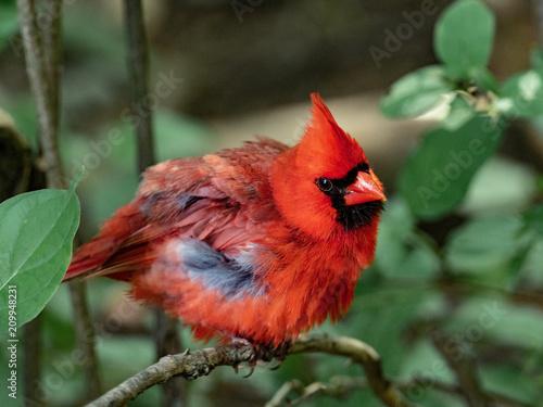 Photo  Red Bird 1