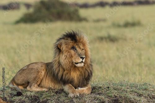 Photo  A male lion sitting down at Masai Mara