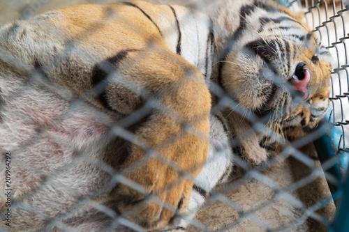 A big tiger sleeping.