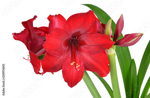 Photo Red Amaryllis flower with green leaves isolated on white background