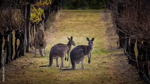 In de dag Kangoeroe Kangaroos amongst the grape vines.