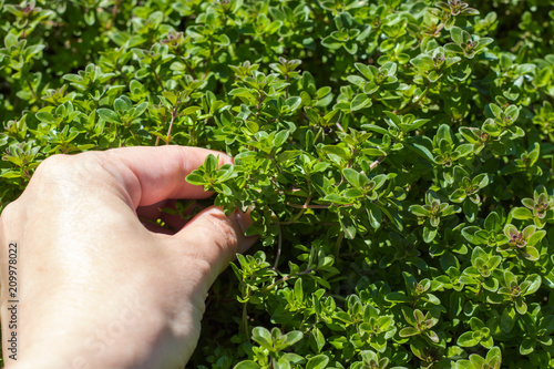 Photo  A woman collects thyme plant medicinal herbs.