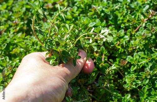 Fotografia  A woman collects thyme plant medicinal herbs.