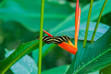 Heliconius Charithonia Butterfly, Costa Rica