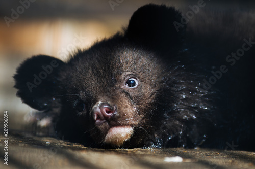 Himalayan black bear cub resting Wallpaper Mural