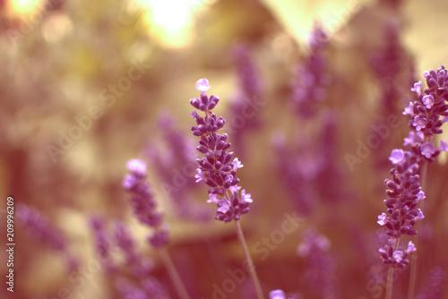 Lavende - 209996209
