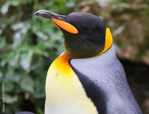 Poster Pinguin King Penguin Bird