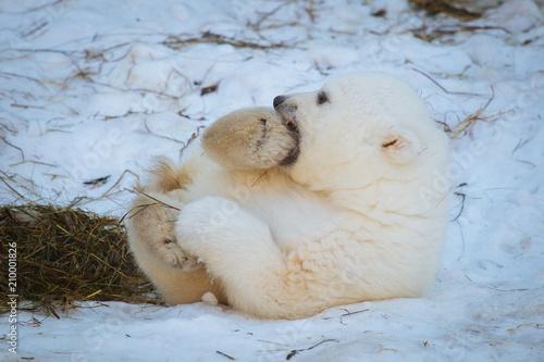Small polar bear cub Poster Mural XXL
