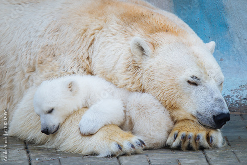 In de dag Ijsbeer Polar bear with cub