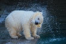 Polar Bear Cub Shaking Off Wat...