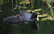 Young Coot Chick With Parent
