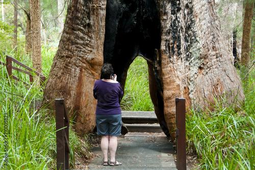 Valokuvatapetti Giant Tingle Tree - Walpole - Australia