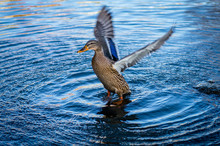Duck Flapping It's Wings