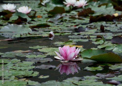 Photo Stands Water lilies 睡蓮(Water lily)の花咲く