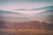 Vintage Flock Of Sheep