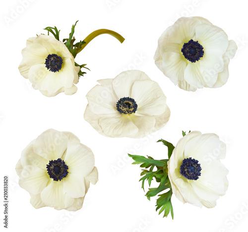 Fotografija Set of anemone flowers