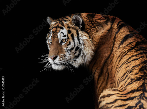 Photo  Amur tiger, tiger, wild cats