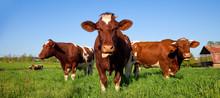 Vache Au Pré, Campagne Française