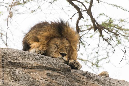 Photo Lion sleeping on the stone