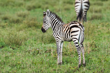 Little Shy Baby Zebra