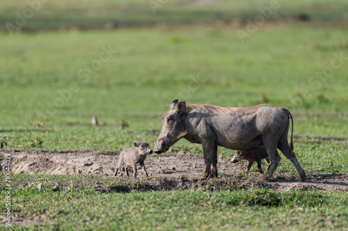 Photo  Mother warthog with babies in Ngorongoro crater