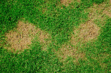 Grass Texture. Grass Background. Patchy Grass, Lawn In Bad Condition And Need Maintaining.