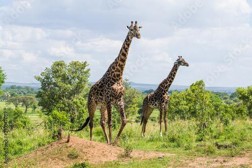 Spoed Foto op Canvas Giraffe Male and female giraffe