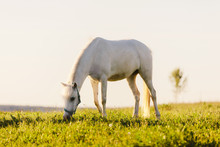 Young White Horse Eating Grass...