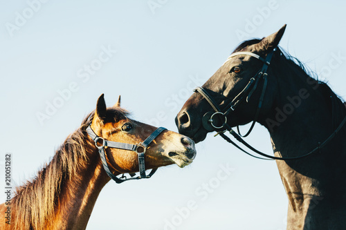 Plakát  Two purebred horses on blue sky background