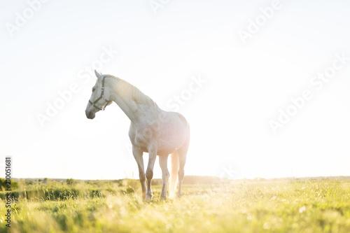 Fototapeta Lonely white horse standing on the grass field in the sunset. obraz