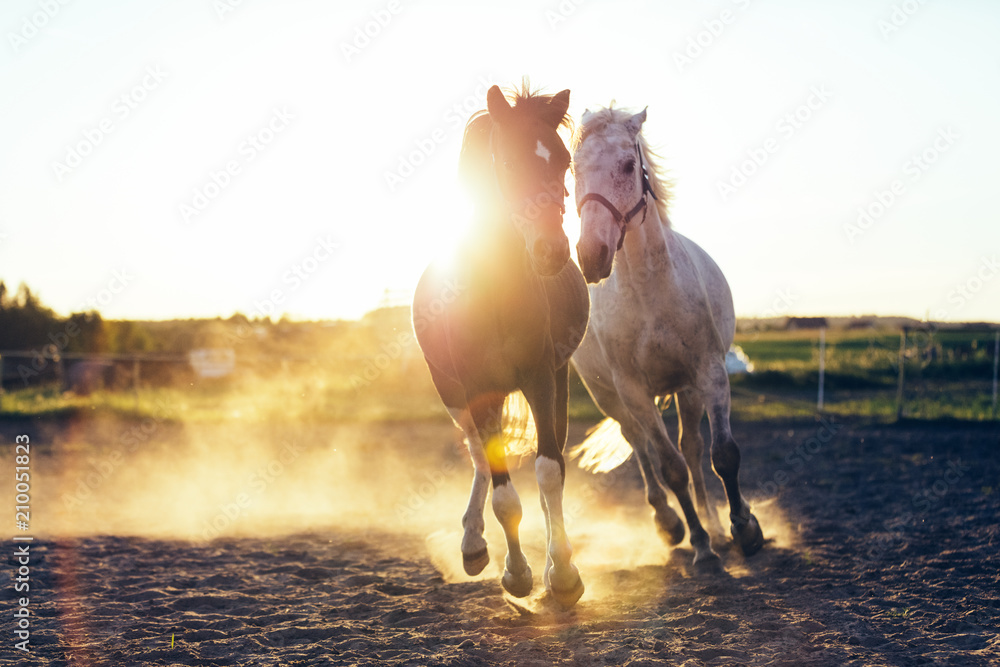 Fototapety, obrazy: White and dark horse gallopading in the sand