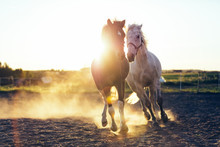 White And Dark Horse Gallopading In The Sand