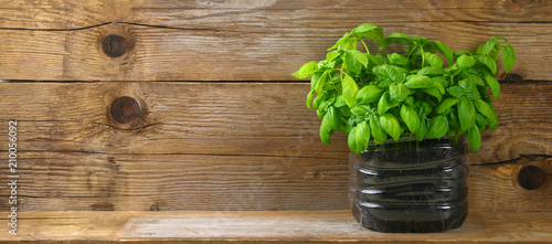 Fototapeta Fresh green basil plant for healthy cooking, herbs and spices. obraz