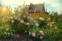 Country House Arrounded By Rose Garden. Sunset