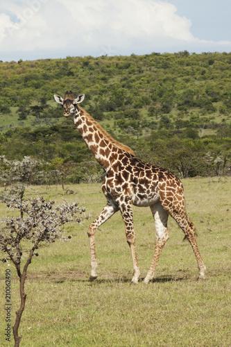 Young Dark Giraffe Poster