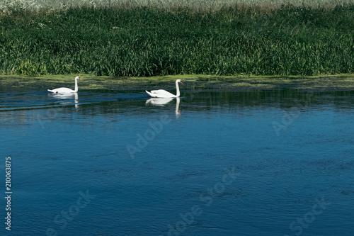 Fotografie, Obraz  Two swans in the lake