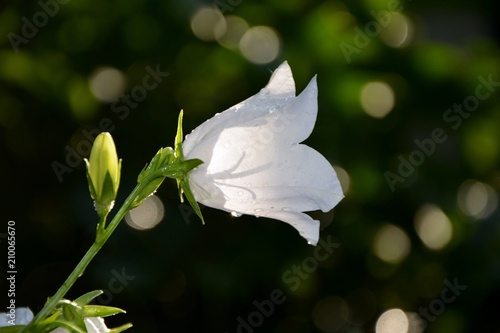Papiers peints Narcisse White bellflower in the garden close-up.