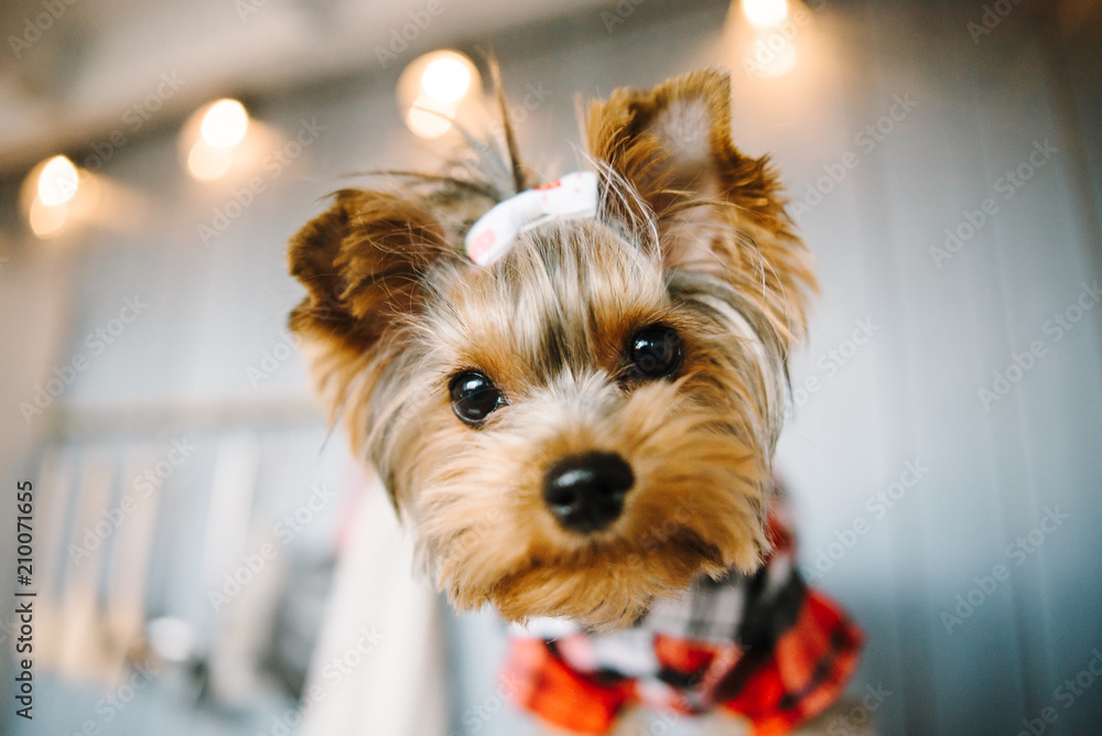 Fototapety, obrazy: Close-up portrait of a Yorkshire terrier