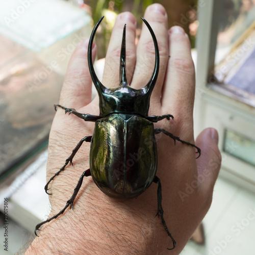 Cuadros en Lienzo Huge tropical beetle on hand